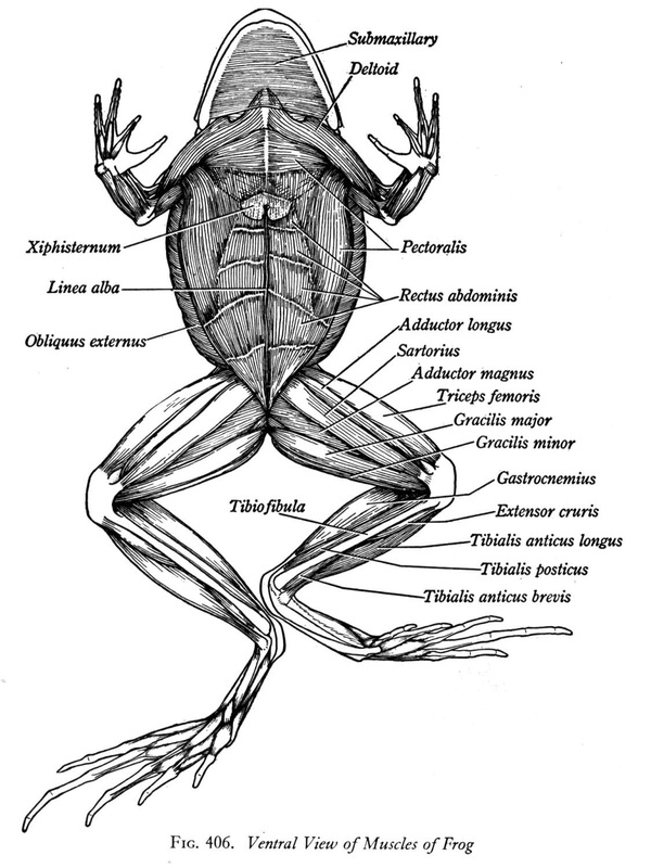 evolution of the muscular system